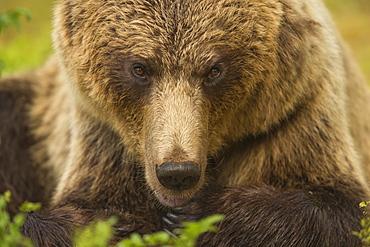 European brown bear head portrait, Finland, Scandinavia, Europe