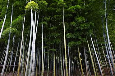 Bamboo forest in Arashiyama, Kyoto, Japan, Asia