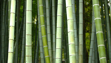 Bamboo forest in Shoren-in temple, Kyoto, Japan, Asia