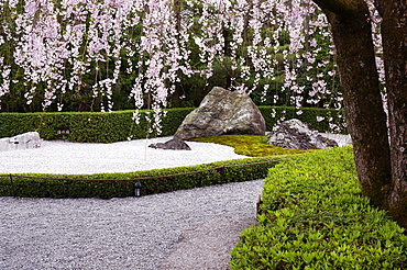 Weeping cherry blossoms, Taizo-in temple, Kyoto, Japan, Asia