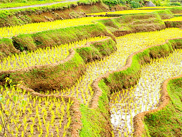 Rice terraces on a steep hill, Tana Toraja, Sulawesi, Indonesia, Southeast Asia, Asia