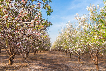 Path between almond trees in bloom, Israel, Middle East