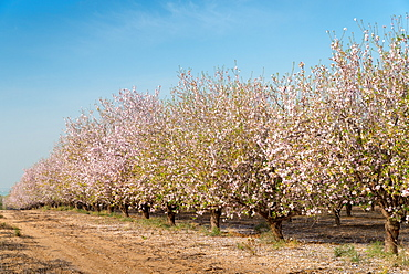 Path beside almond trees in bloom, Israel, Middle East