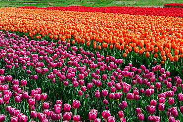 Bulbfields famous for colourful tulips, Lisse, The Netherlands, Europe