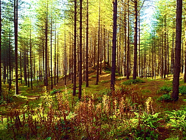 An autumn view of Newborough Forest and Nature Reserve on the Isle of Anglesey, North Wales, United Kingdom, Europe