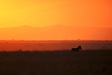 Burchell's zebra at sunrise (Equus quagga), Serengeti National Park, Tanzania, East Africa, Africa