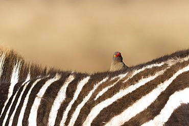 Red-billed oxpecker (Buphagus erythrorhynchus), Ngorongoro Conservation Area, Tanzania, East Africa, Africa