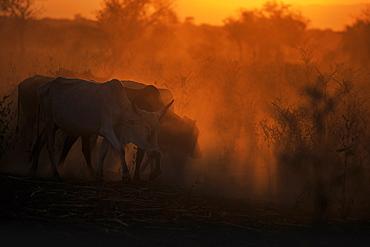 Zebu cattle grazing at dusk, Tanzania, East Africa, Africa - 1249-24
