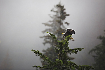 Bald eagle (Haliaeetus leucocephalus), Chugach National Forest, Alaska, United States of America, North America - 1249-26