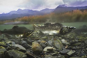 Pink salmon (Oncorhynchus gorbuscha), spawning season, Prince William Sound, Alaska, United States of America, North America