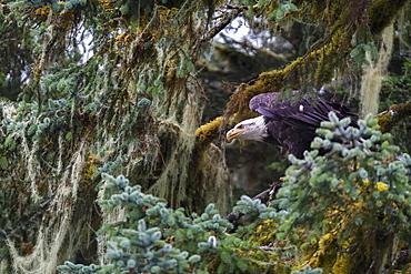 Bald eagle (Haliaeetus leucocephalus), Prince William Sound, Alaska, United States of America, North America - 1249-30