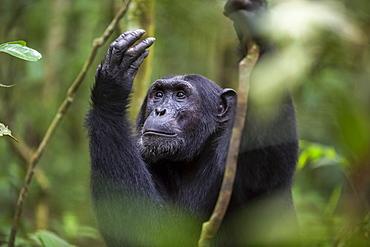 Chimpanzee (Pan troglodytes), Kibale National Park, Uganda, Africa