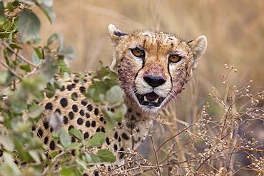 Cheetah (Acinonyx jubatus), Serengeti National Park, Tanzania, East Africa, Africa - 1249-35