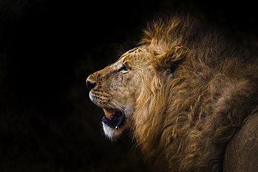 African lion in shadow (Leo panthera), Ngorongoro Crater, Tanzania, East Africa, Africa - 1249-53
