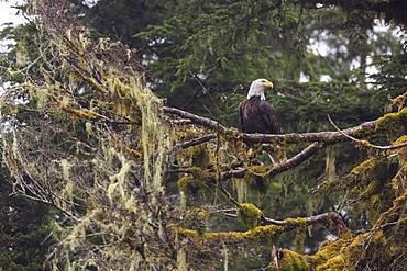 Bald eagle (Haliaeetus leucocephalus), Chugach National Forest, Alaska, United States of America, North America - 1249-55