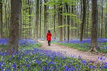 Woman in red coat walking through bluebell woods, Hallerbos, Belgium, Europe