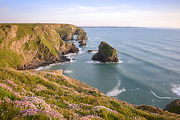 Sea Thrift growing on cliffs overlooking Bedruthan Steps, Cornwall, England, United Kingdom, Europe - 1255-13