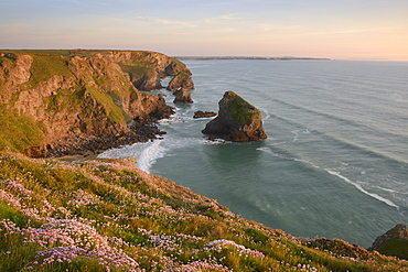 Sea thrift growing on cliffs overlooking Bedruthan Steps, Cornwall, England, United Kingdom, Europe - 1255-4