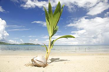 Young coconut palm tree establishing itself on an island, Fiji, Pacific
