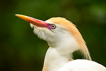 Portrait of Cattle Egret (Bubulcus ibis), United States of America, North America
