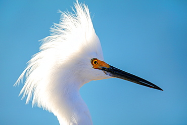 Portrait of Snowy Egret (Egretta thula) against blue sky, United States of America, North America