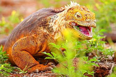 Galapagos Land Iguana (Conolophus subcristatus) eating flowers, on North Seymour island, Galapagos National Park, Ecuador, South America