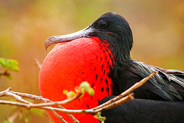 Male Magnificent Frigatebird (Fregata magnificens) with inflated gular sac, North Seymour Island, Galapagos National Park, Ecuador, South America