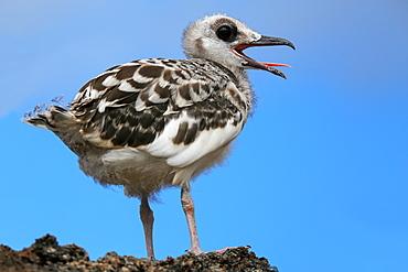 Baby Swallow-tailed Gull (Larus furcatus) on Genovesa island in Galapagos National Park, Ecuador, South America