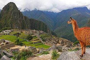 Llama standing at Machu Picchu viewpoint, UNESCO World Heritage Site, Peru, South America