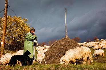 Shepherd with his dog and herd of sheep, Transylvania, Romania, Europe