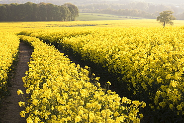 Oilseed rape fields and lone tree shortly after sunrise in spring near West Bretton, Wakefield, West Yorkshire, Yorkshire, England, United Kingdom, Europe