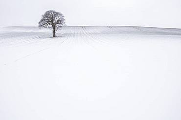 Lone solitary tree in winter snow covered field with plain background, Wakefield, West Yorkshire, Yorkshire, England, United Kingdom, Europe