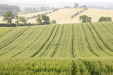 Field of barley and rolling countryside at West Marton near Skipton, North Yorkshire, England, United Kingdom, Europe