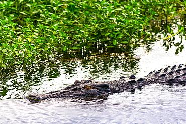 Saltwater crocodile at Yellow Water Wetlands and Billabong, Kakadu National Park, UNESCO World Heritage Site, Northern Territory, Australia, Pacific