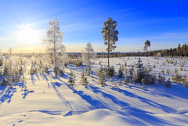 Vegetation covered with snow during the winter, Vittangi, Norbottens Ian, Lapland, Sweden, Scandinavia, Europe