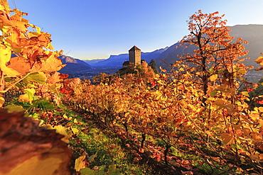 Sunset light illuminates the vineyards surrounding Tirolo Castle, Merano, Val Venosta, Alto Adige-Sudtirol, Italy, Europe