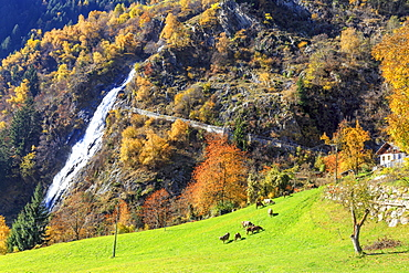 Herd of cows grazing at the foot of the waterfall, Parcines Waterfall, Parcines, Val Venosta, Alto Adige-Sudtirol, Italy, Europe