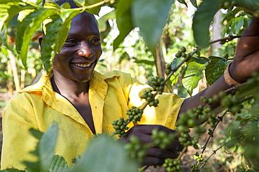 A young boy checks his coffee plant, Uganda, Africa