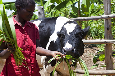 A woman feeds her cow long grass, Uganda, Africa