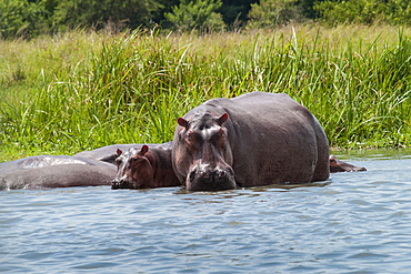 An adult and baby hippo in the shallows near the bank of the River Nile, Uganda, Africa