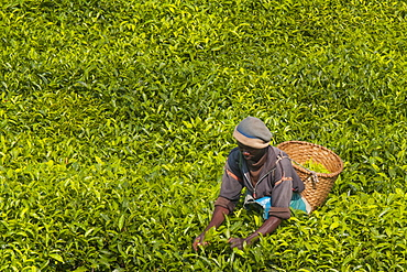 A tea picker picking tea in the South of Rwanda, Africa