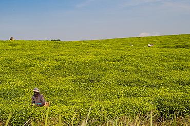 Tea pickers picking tea, Rwanda, Africa