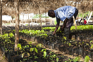 A man tends to small cocoa trees at a cocoa nursery in Ghana, West Africa, Africa - 1270-159