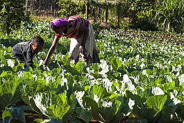 A mother and daughter harvest some cabbages, Ethiopia, Africa