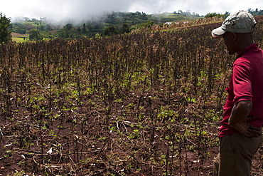 A male farmer looks out at his failed crop, Ethiopia, Africa
