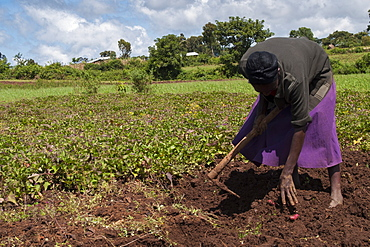 A woman harvesting sweet potatoes in a field, Ethiopia, Africa