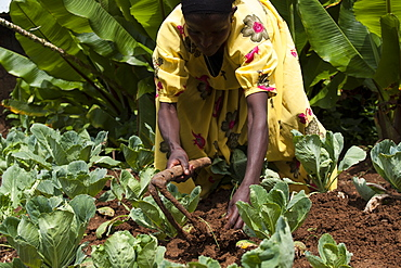 A woman weeds her crop with a hoe, Ethiopia, Africa
