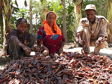 A farmer and his wife and son put their chillies out to dry in the sun, Ethiopia, Africa