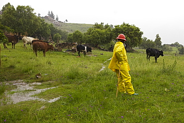 A farmer wearing a yellow raincoat and hard hat to protect him from the heavy rain while looking after his cattle, Lesotho, Africa