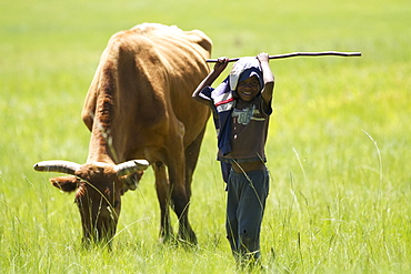 A small boy looks after his families cows, Lesotho, Africa